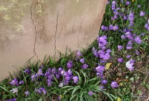 crocus round a headstone