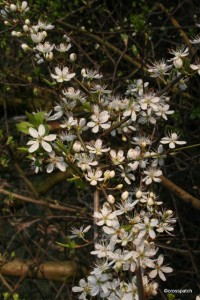 blackthorn blossom, will be followed in the autumn by Sloes