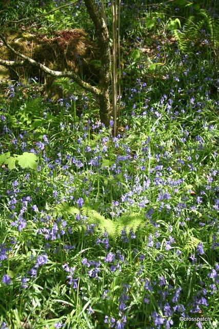 Bluebells under a beech tree