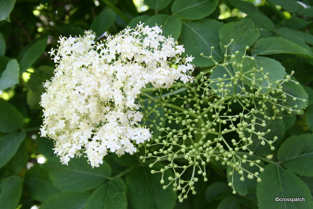 Wild Elderflowers hand picked