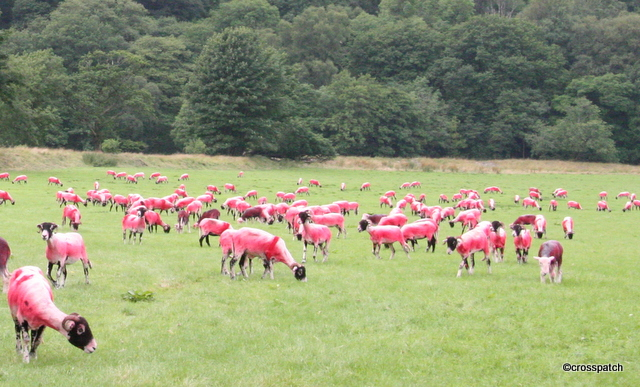 a flock of Pink Sheep