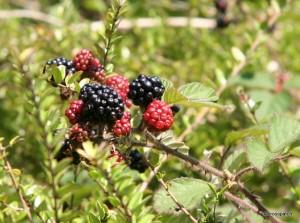 Beautiful juicy Blackberries